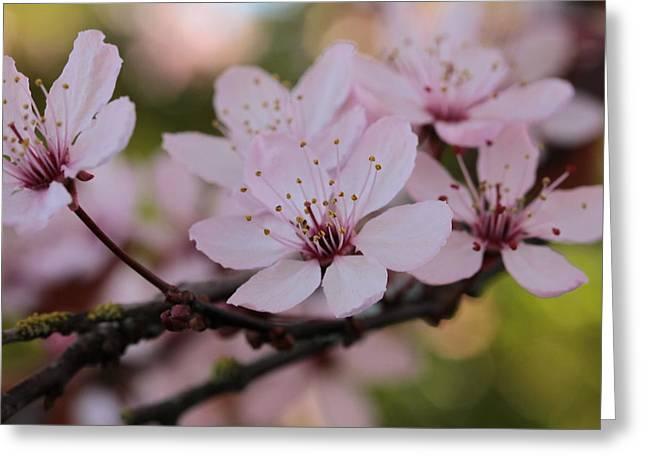 Plum Blossom Greeting Cards - Plum Blossoms Branching Out Greeting Card by Connie Handscomb