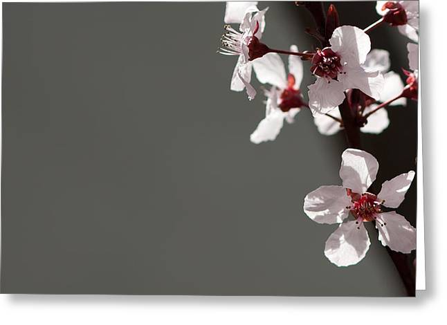 Plum Blossoms Greeting Cards - Plum Blossom Greeting Card by Peter Tellone