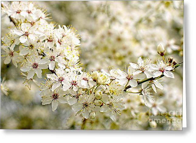 Plum Blossoms Greeting Cards - Plum Blossoms 2 Greeting Card by Sharon  Talson