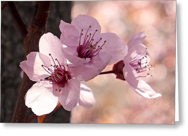 Apricot Greeting Cards - Plum Blossoms Greeting Card by Rona Black
