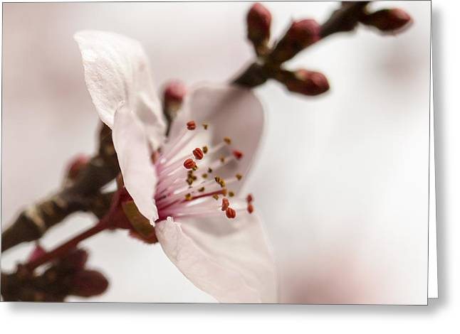 Plum Blossoms Greeting Cards - Plum Pink Greeting Card by Caitlyn  Grasso