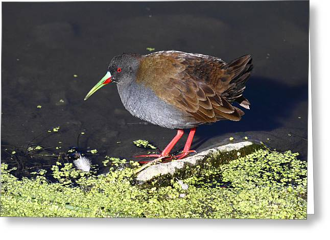 Paraguay Greeting Cards - Plumbeous Rail Greeting Card by James Brunker