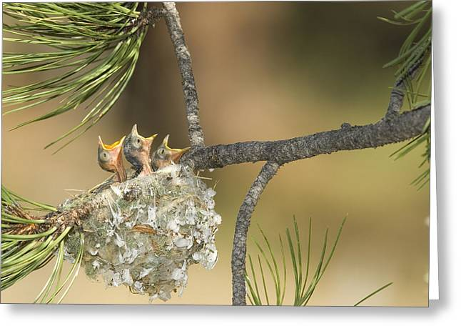 Hungry Chicks Greeting Cards - Plumbeous Vireo Begging Arizona Greeting Card by Tom Vezo