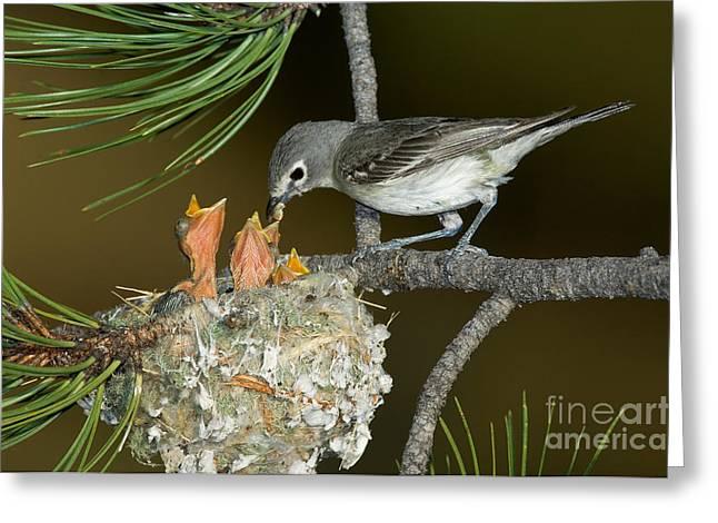 Feeds Chicks Greeting Cards - Plumbeous Vireo Feeding Chicks In Nest Greeting Card by Anthony Mercieca