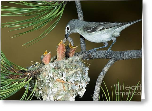 Feeds Chicks Greeting Cards - Plumbeous Vireo Feeding Worm To Chicks Greeting Card by Anthony Mercieca