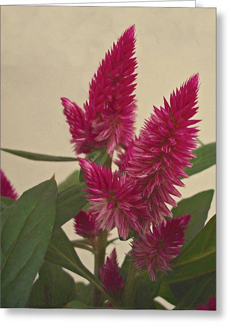Plumed Cockscomb Flowers Greeting Card by David Dehner