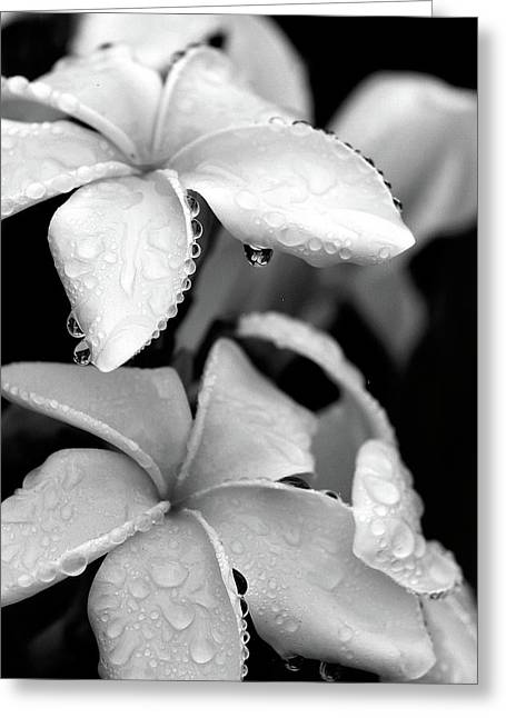 Flower Still Life Prints Greeting Cards - Plumeria Drip Greeting Card by Peter Tellone