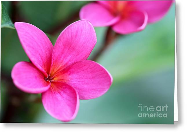 Florida Flowers Greeting Cards - Plumeria in Pink Greeting Card by Sabrina L Ryan