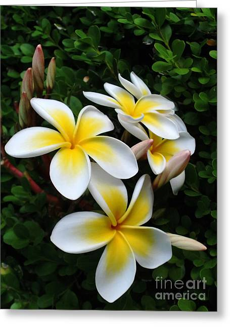 Sunlight On Flowers Greeting Cards - Plumeria in the Sunshine Greeting Card by Kaye Menner