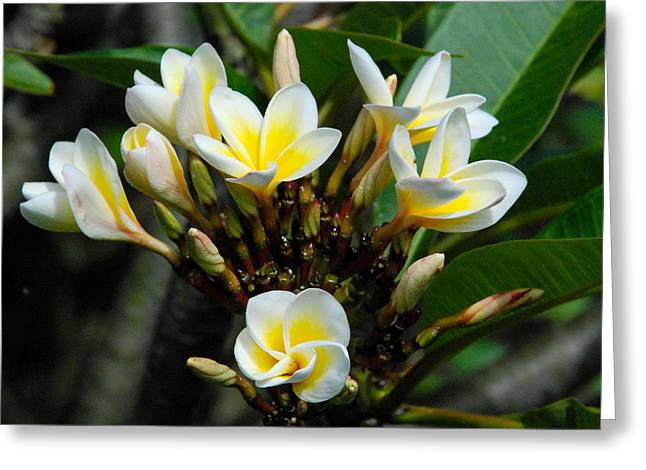 Geobob Greeting Cards - Plumeria or Frangipani Flowers in Goma DRC Congo Africa Greeting Card by Robert Ford