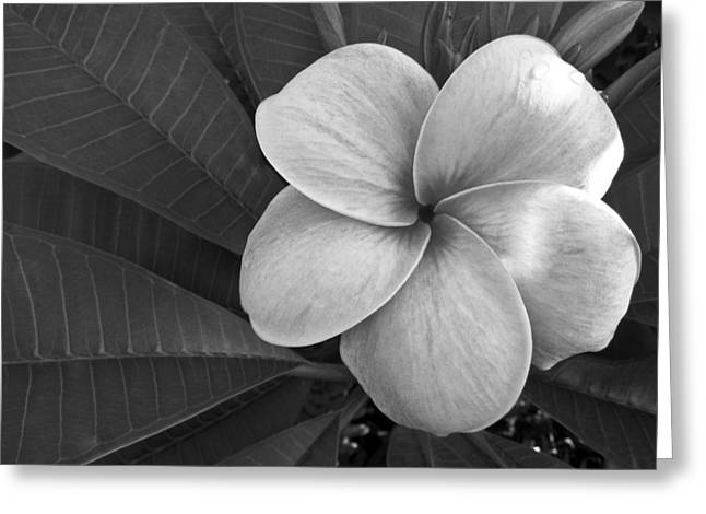 Shane Kelly Greeting Cards - Plumeria with Raindrops Greeting Card by Shane Kelly