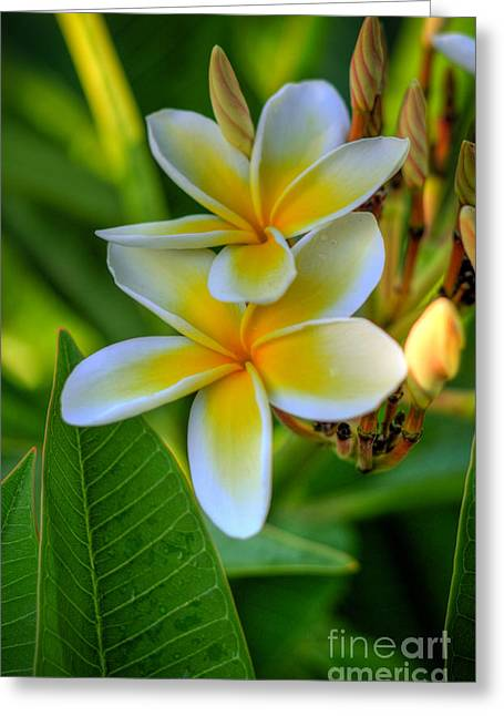 Tropical Photographs Greeting Cards - Plumeria Yellow Greeting Card by Kelly Wade