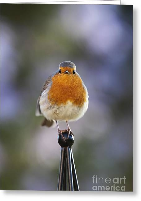 Obelisk Greeting Cards - Plump Robin Greeting Card by Tim Gainey