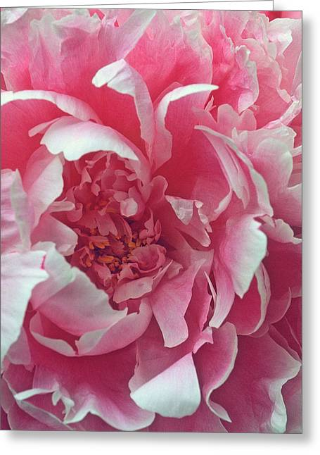 Floral Prints Greeting Cards - Plush Peony Greeting Card by Kathy Yates
