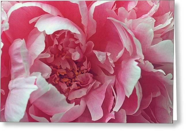 Plush Peony Greeting Card by Kathy Yates