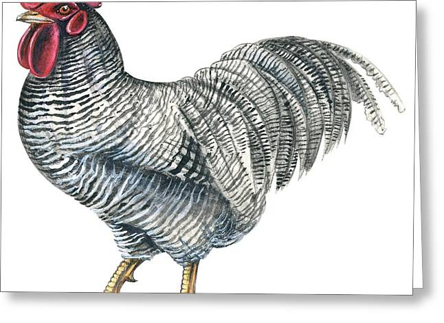 Rocks Drawings Greeting Cards - Plymouth Rock rooster  Greeting Card by Anonymous
