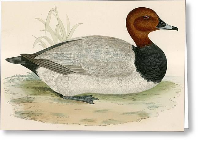 Hunting Bird Greeting Cards - Pochard Greeting Card by Beverley R. Morris