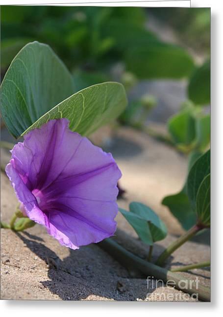 Morning Glory Art Greeting Cards - Pohuehue - Pua Nani O Kamaole Hawaii - Beach Morning Glory Greeting Card by Sharon Mau
