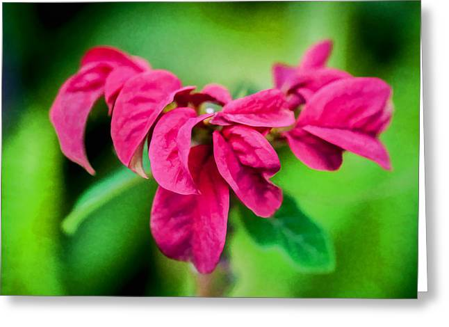 Euphorbiaceae Greeting Cards - Poinsettia - Ruffled Red Euphorbia Pulcherrima Ruffled    Greeting Card by Rich Franco