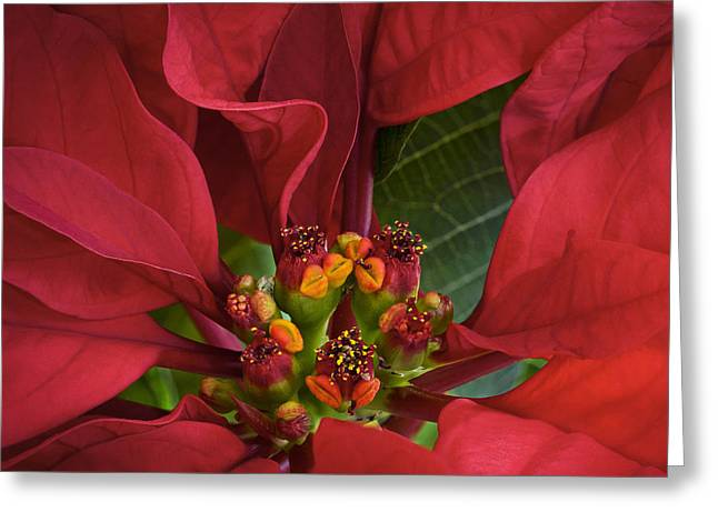 Poinsettia Greeting Card by Barbara Smith
