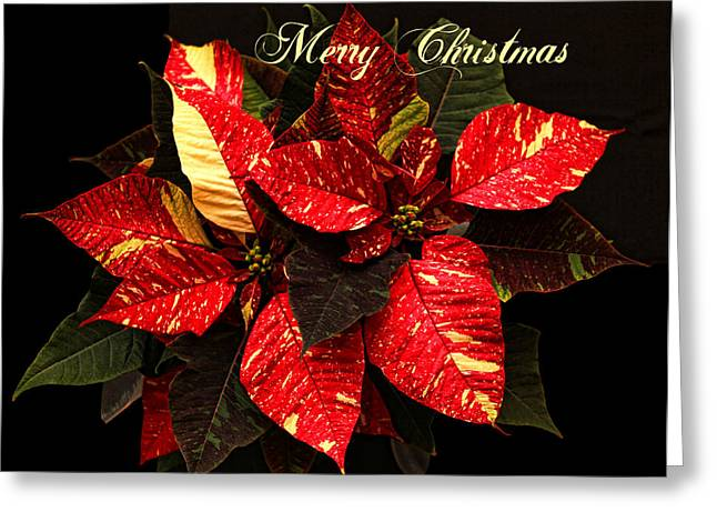 Star Of Bethlehem Greeting Cards - Poinsettia Christmas Greeting Card by Judy Vincent