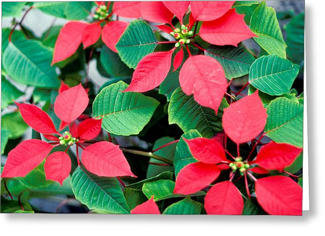 Green Leafs Greeting Cards - Poinsettia Flowers Greeting Card by Anonymous