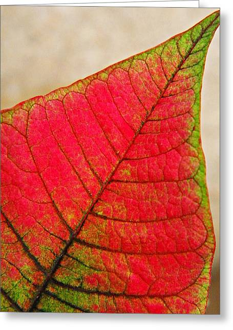 Euphorbia Greeting Cards - Poinsettia Leaf  Greeting Card by Chris Berry