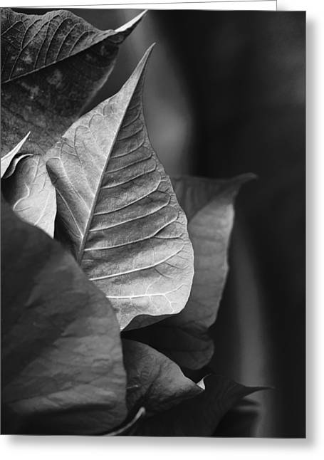 Euphorbiaceae Greeting Cards - Poinsettia Points Greeting Card by Christi Kraft