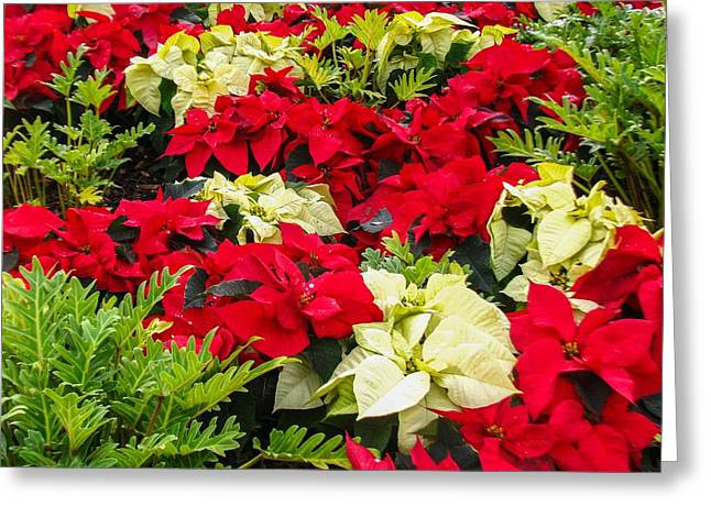 Euphorbiaceae Greeting Cards - Poinsettia Greeting Card by Zina Stromberg