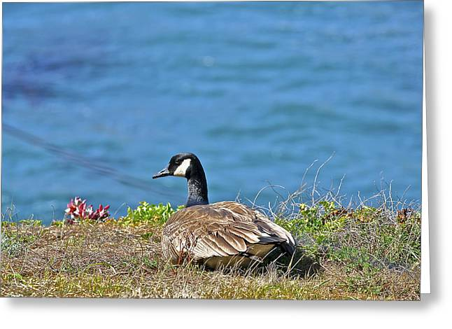 Point Lobos State Greeting Cards - Point Lobos Duck Greeting Card by SC Heffner