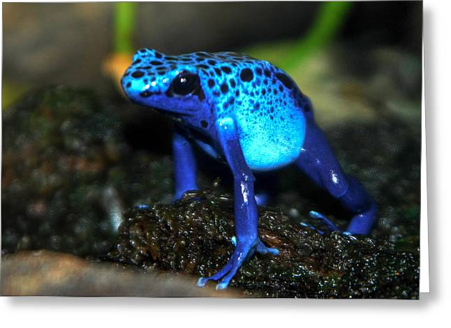 Vocalizations Mixed Media Greeting Cards - Poison Blue Dart Frog Greeting Card by Optical Playground By MP Ray