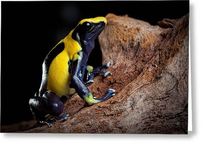 Guyana Greeting Cards - Poison Dart Frog Greeting Card by Dirk Ercken