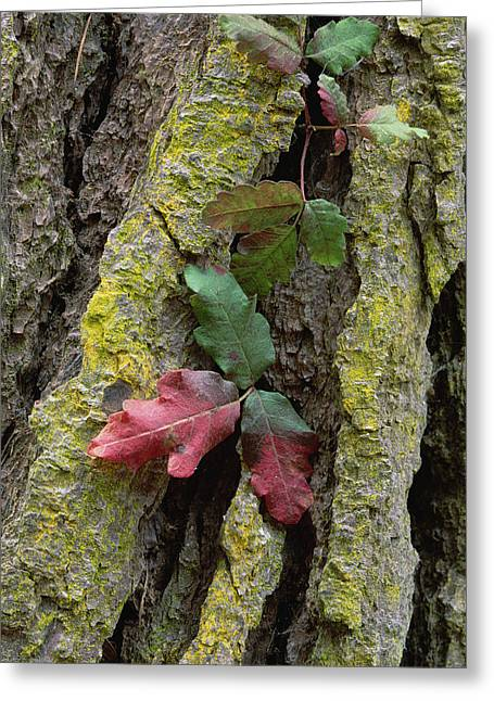 Point Lobos Greeting Cards - Poison Oak On Monterey Pine Bark Pt Greeting Card by Tim Fitzharris