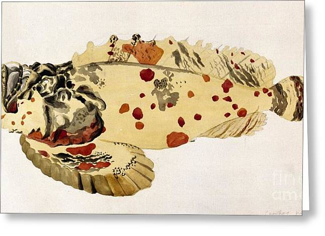Reef Fish Greeting Cards - Poison Stonefish, 18th Century Greeting Card by Natural History Museum, London