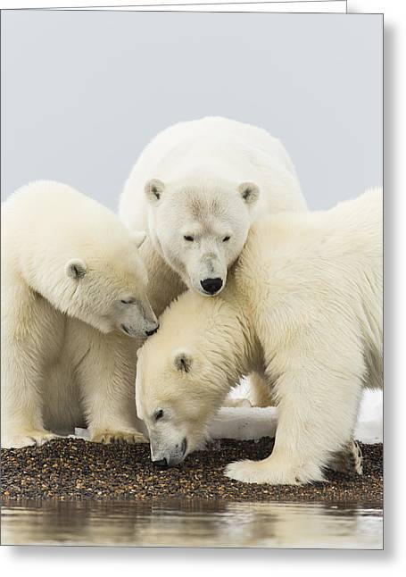 Polar Bear Standing Greeting Cards - Polar Bear Beach Combing Greeting Card by Tim Grams