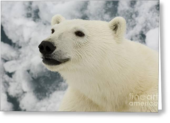 Norwegian Sea Greeting Cards - Polar Bear Crossing Ice Floe Greeting Card by John Shaw
