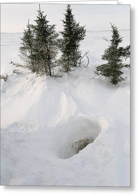 Ursus Maritimus Greeting Cards - Polar bear den entrance Greeting Card by Science Photo Library