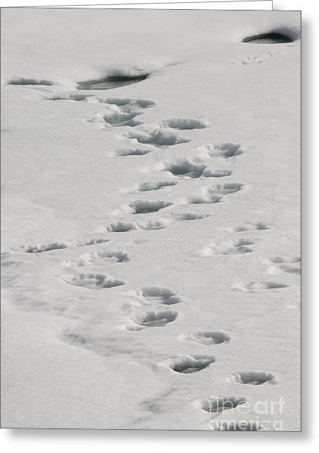 Bear Tracks Greeting Cards - Polar Bear Footprints Greeting Card by John Shaw