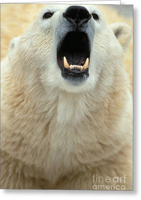 Growling Photographs Greeting Cards - Polar Bear Growling Greeting Card by Mark Newman