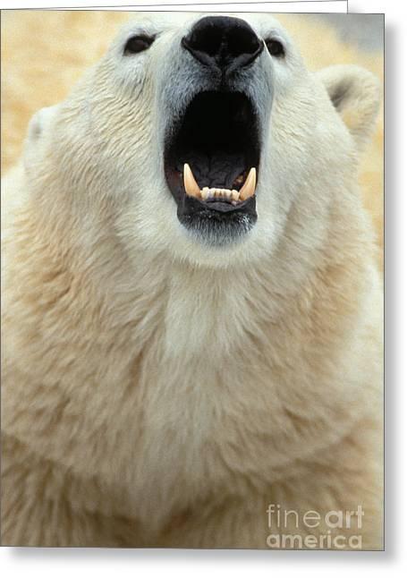 Growling Greeting Cards - Polar Bear Growling Greeting Card by Mark Newman