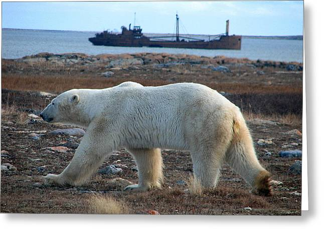 Ithaca Greeting Cards - Polar Bear Ithica ship  Greeting Card by David Matthews