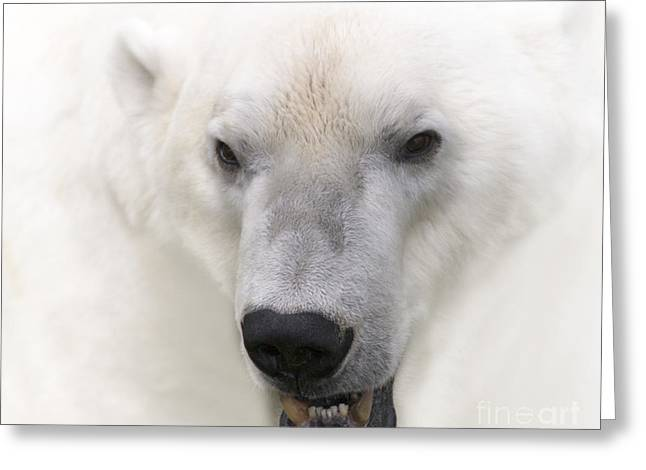 Zoologic Greeting Cards - Polar Bear Portrait Greeting Card by Heiko Koehrer-Wagner