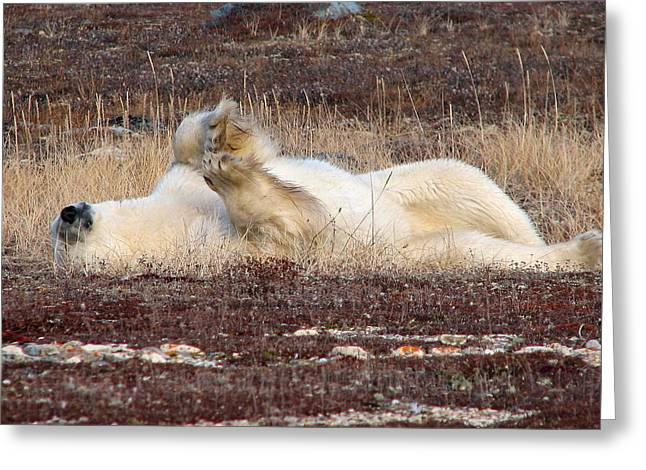 Ithaca Greeting Cards - Polar Bear rolling over Greeting Card by David Matthews