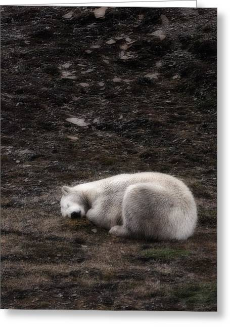 Norge Greeting Cards - Polar Bear Sleeping, Spitsbergen Greeting Card by Panoramic Images