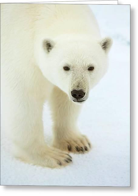 Polar Bear Standing Close Up Greeting Card by Peter J. Raymond