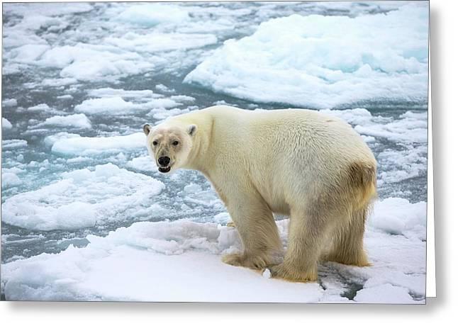 Polar Bear Standing On A Ice Floe Greeting Card by Peter J. Raymond