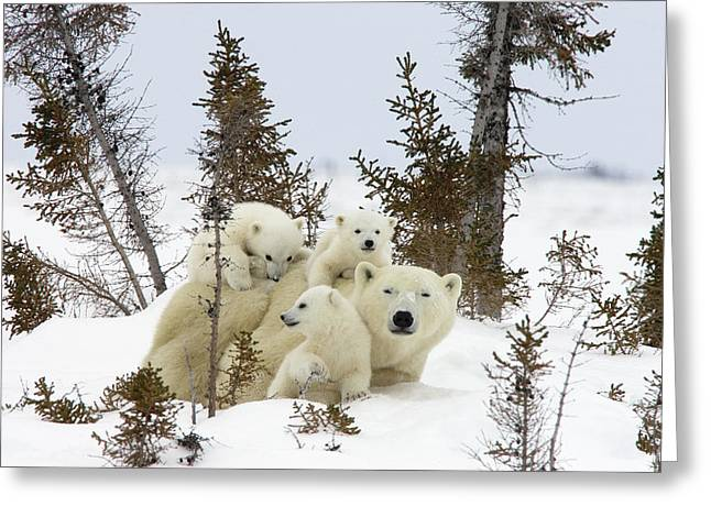 Polar Bear Ursus Maritimus Mother and Cubs Greeting Card by Matthias Breiter
