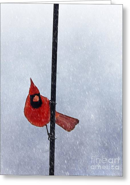 Male Cardinals In Snow Greeting Cards - Pole Dancing Cardinal Greeting Card by Darren Fisher