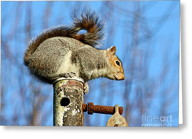 Sciurus Carolinensis Greeting Cards - Pole Dancing Squirrel Greeting Card by Terri  Waters