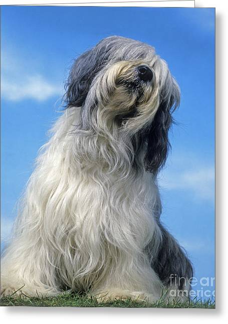 Head Tilt Greeting Cards - Polish Lowland Sheepdog Greeting Card by Jean-Michel Labat